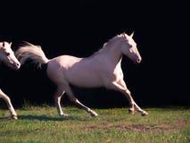 Running cream ride pony at black background Stock Photos
