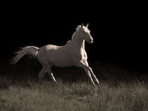 Running cream ride pony at black background Stock Images