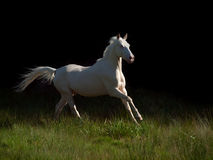 Running cream ride pony at black background Royalty Free Stock Photography