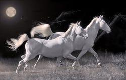 Running cream ride ponys at black background Royalty Free Stock Image