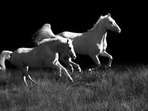 Running cream ride ponys  at black background Royalty Free Stock Photo