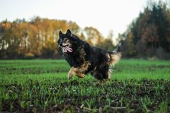 Running crossbreed old senior dog. Probably shepherd stock photo
