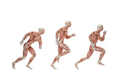 Running cycle. Anatomical illustration. Isolated. Contains clipp Royalty Free Stock Image