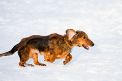 Running Dachshund. Long haired dachshund running on snow stock images