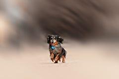 Running dachshund dog Stock Photo