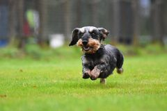 Running dachshund Royalty Free Stock Photography