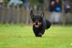 Running dachshund Stock Photos