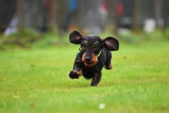 Running dachshund Royalty Free Stock Photos
