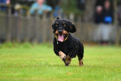 Running dachshund Stock Photography