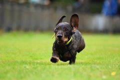 Running dachshund Royalty Free Stock Image