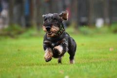 Running dachshund Royalty Free Stock Photography