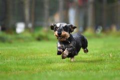 Running dachshund Stock Photo