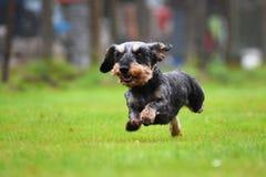 Running dachshund Stock Photos
