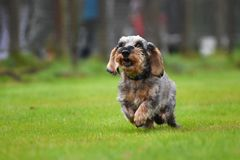 Running dachshund Royalty Free Stock Images