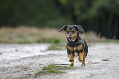 Running Dachshund-Mix Royalty Free Stock Photography