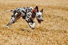 Running dalmatian Royalty Free Stock Photography