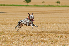 Running dalmatian. Dalmatian bitch running fast on stubble field, looking at camera, horizontal Royalty Free Stock Photos