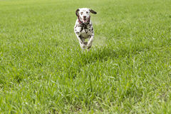 Running dalmation Royalty Free Stock Images