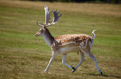 Running dappled deer Stock Photography