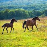 Running dark bay horses Royalty Free Stock Photos