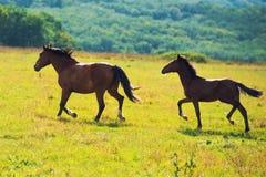Running dark bay horses Royalty Free Stock Image