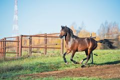 Running dark bay sportive welsh pony stallion in paddock stock image