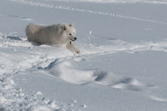 Running in deep snow. Samoyed Dog in winter. snow and cold - the perfect weather for him Royalty Free Stock Photos