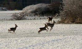 Running deer. Deer running on snowcovered field Stock Images
