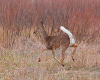 Running deer Royalty Free Stock Photography