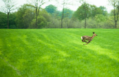Running deer. Deer running across a field in daytime Royalty Free Stock Images