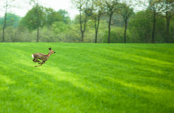 Running deer. Deer running across a field in daytime Stock Photo