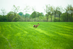 Running deer. Deer running across a field in daytime Stock Photos
