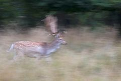 Running deer Stock Photography