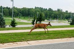 Running deer at the school yard royalty free stock image