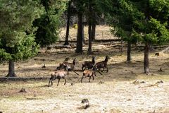 Running deers Royalty Free Stock Images