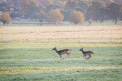 Running deers. Deers in Richmond Park,London Royalty Free Stock Photography