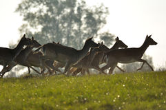 Running deers herd on grass. Running deers herd with trees in background royalty free stock photo