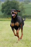 Running Doberman Royaltyfria Bilder