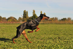 Running doberman Stock Images
