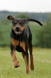 Running doberman dog Stock Image