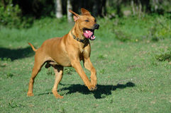 Running dog. Red wheaten active Rhodesian Ridgeback hound dog running and jumping towards his master in South Africa Royalty Free Stock Image
