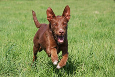 Running dog Stock Photography