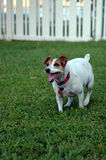 Running dog. A jack russell terrier running in the backyard Royalty Free Stock Photos