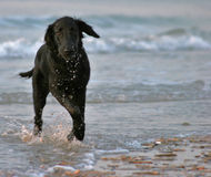 Running dog. Young dog running in the water Royalty Free Stock Image
