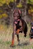 Running dog Royalty Free Stock Photography