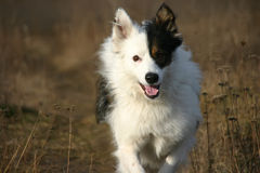 Running dog Royalty Free Stock Photo