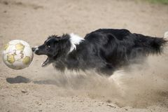 Running dog. Black running dog is hunting a ball Royalty Free Stock Photos