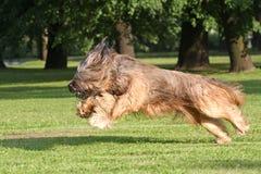 Running dog. Running briard dog in park place Stock Photo
