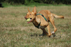 Running dog. Tan dog, wearing harness, running with ball in mouth royalty free stock photo