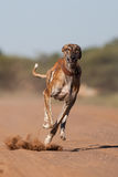 Running dog. A greyhound with a collar running full speed at the camera at eye level Royalty Free Stock Photography